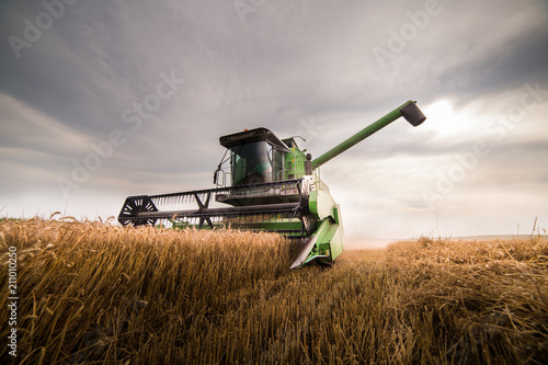 Fototapeta Harvesting of wheat field with combine obraz