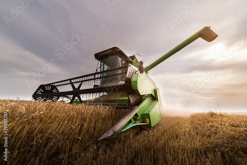 Canvastavla Harvesting of wheat field with combine