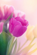Beautiful Pink Tulip Background