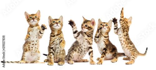 Photo  small Bengal kitten looks