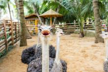 Furry Ostrich In Close-up
