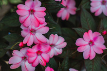 Tender Pink Flowers In Close-up