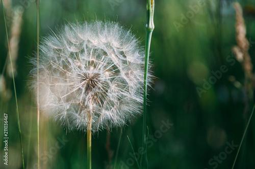 A dandelion grows in a meadow.