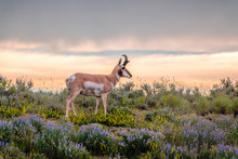 Buck Pronghorn Antelope With S...