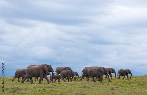 Canvas Prints Elephant Elephant Herd