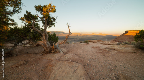 Fotografia  Twisted juniper trees grow on the rim of Gooseberry Mesa in Southern Utah as early morning light begins to touch the horizon