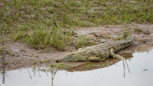 Keuken foto achterwand Krokodil Krokodil im Schlamm in einem Fluss in Afrika