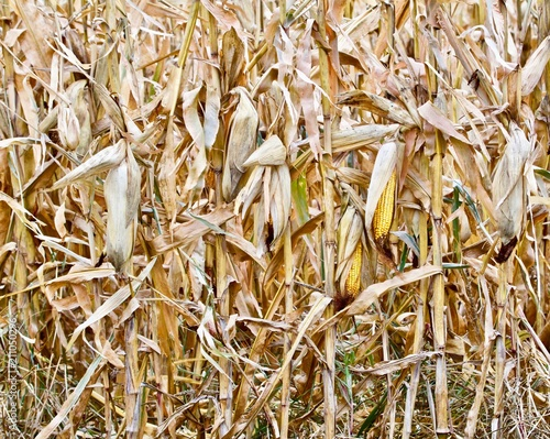 Valokuvatapetti Ripe Corn on the Stalk