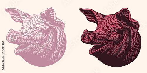 Fototapeta The head of a pig. Design set. Hand drawn engraving. Editable vector vintage illustration. Isolated on white and dark background. 8 EPS obraz