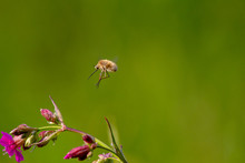 Rare Forest Insect With A Long Proboscis Flies On A Flower To Pollinate It. Bombylius Sp.