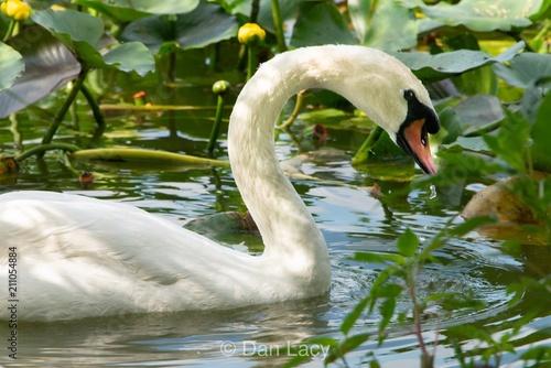 Keuken foto achterwand Zwaan Imperial swan