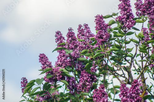 Staande foto Lilac Flowering of the lilac in the spring