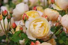 Orange Roses In The Garden