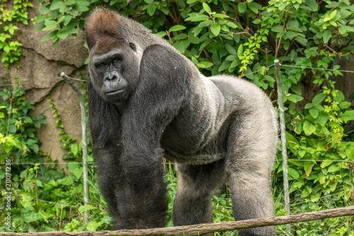 Photo sur Toile Singe Gorilla family
