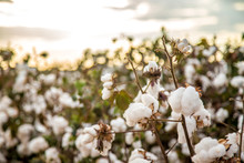 Cotton Field Plantation Textur...