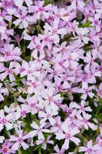 Phlox Subulata Pink Flowers