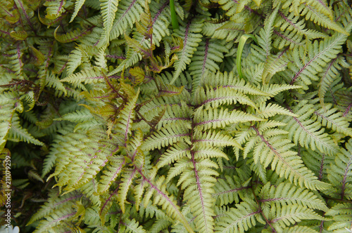 Athyrium niponicum or oriental ladyfern or japanese painted fern