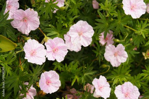 Geranium sanguineum striatum bloody cranesbill pink flowers