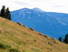 Herd Of Bighorn Sheep Grazing ...