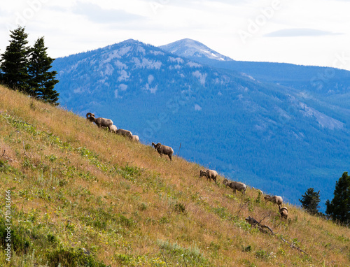 Herd of bighorn sheep grazing on a mountain slope in National Bison Range - Mont Wallpaper Mural