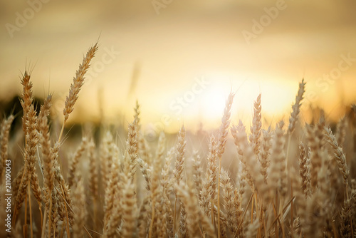 Wheat in sunset