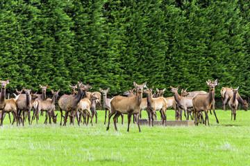 Naklejka na ściany i meble Huge herd of deer grazing