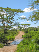 Dirt Road Among Acacia Trees W...