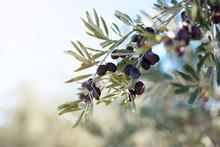 Spanish Olive Grove, Branch De...