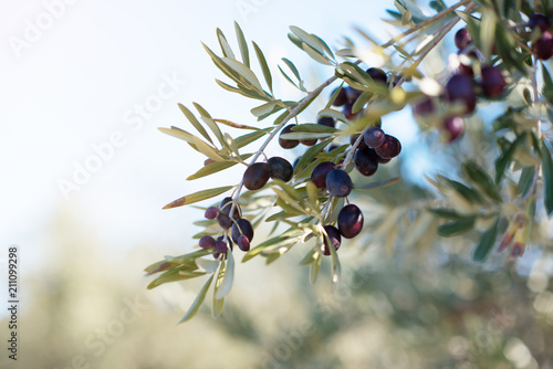 Spanish olive grove, branch detail Canvas Print