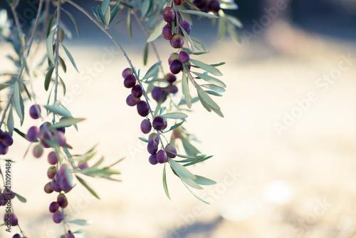 Cuadros en Lienzo Spanish olive grove, branch detail