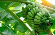 Banana Tree With Bunch Of Raw ...