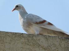 Curious White Pigeon Walking A...