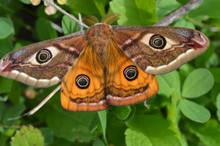 Emperor's Night Butterfly, Emp...