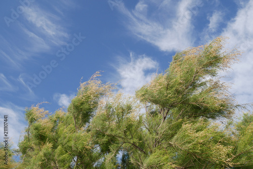 Foto Amazing background with pines blowing in the wind and beautiful cloudy blue sky