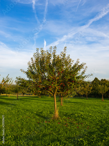 Apfelbaum auf einer Streuobstwiese im Herbst