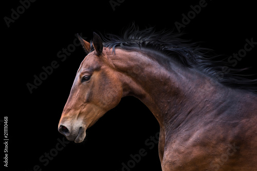 Foto op Canvas Paarden Portrait of bay horse isolated on black background