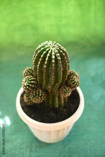 Foto op Canvas Cactus Cacti in pots on a green background