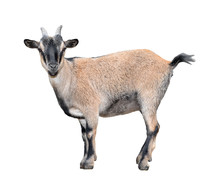 Goat Standing Full Length Isolated On White. Funny  Female Goat Close Up. Farm Animals.