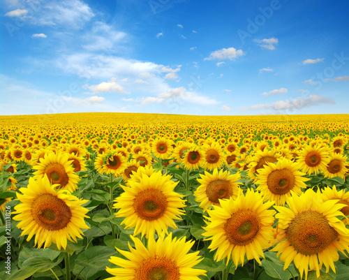 Foto op Canvas Klaprozen sunflowers field on sky