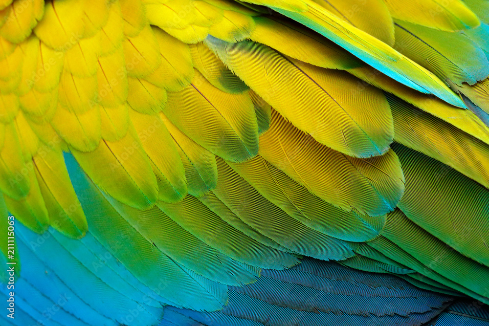 Obraz Close-up detail of parrot plumage. Green parrot Great-Green Macaw, Ara ambigua, detail of bird wing Wild nature in Costa Rica. Green, yellow and blue feathers. fototapeta, plakat