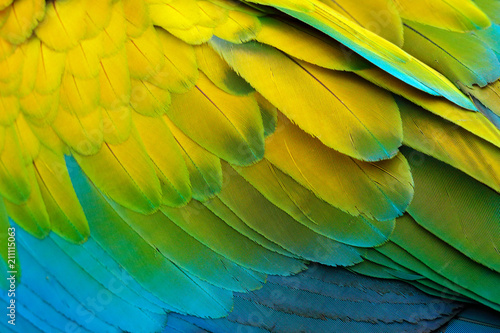 Fototapeta Close-up detail of parrot plumage. Green parrot Great-Green Macaw, Ara ambigua, detail of bird wing Wild nature in Costa Rica. Green, yellow and blue feathers. obraz