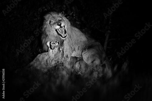 Staande foto Afrika Lion, Panthera leo bleyenberghi, mating action scene in Kruger National Park, Africa. Animal behavior in the nature habitat, male and female in dark night.