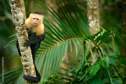 Photo  White-headed Capuchin, black monkey sitting on palm tree branch in the dark tropical forest