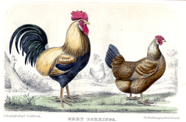 Fototapeta Wiejski Illustration of chicken and rooster