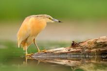 Squacco Heron, Ardeola Ralloid...