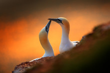 Portrait Of Pair Of Northern Gannet, Sula Bassana, Evening Orange Light In The Background. Two Birds Love In Sunset, Animal Love Behaviour.