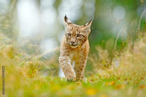 Fototapeta premium Młody ryś w zielonym lesie. Scena dzikiej przyrody z natury. Spacerujący ryś euroazjatycki, zachowanie zwierząt w środowisku. Młode dzikiego kota z Niemiec. Dziki Bobcat między drzewami.
