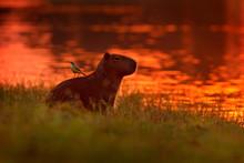 Capybara In The Lake Water Wit...