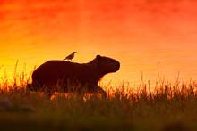 Capybara In The Lake Water With Bird. The Biggest Mouse Around The World, Capybara, Hydrochoerus Hydrochaeris, With Evening Light During Orange Sunset, Pantanal, Brazil.
