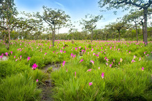 Travel Unseen Thailand Siam Tulip Or Krachaiw Flower Fields In Pha Hin Ngam National Park At Chaiyaphum Province